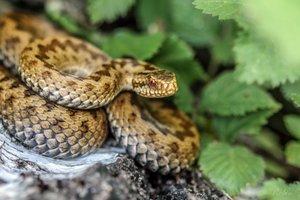 В Черновицкой области змея атаковала молодого парня