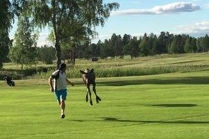 Лось устроил гонки по полю за игроком в гольф