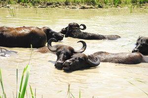 В Одесской области буйволы спасают озеро и манят туристов