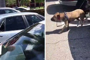 In Florida, police rescued abandoned pit bull in the car