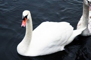 In Norway decided to sedate aggressive Swan who tried to drag into the water a little girl