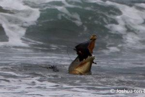 Крокодил закусил на пляже скатом