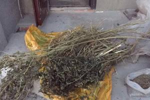 Под Киевом мужчина выращивал марихуану на приусадебном участке