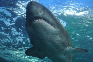 В Греции рыбаки поймали акулу весом 350 килограммов