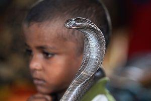 Фестиваль кобры в Индии: жуткое зрелище