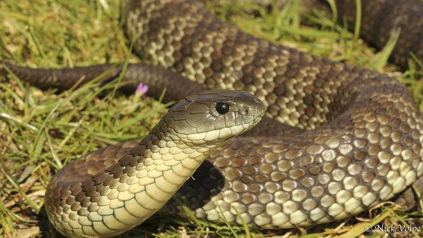 Змеи часто атакуют людей. Фото: zoopicture.ru