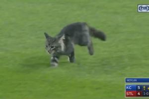 """Всех сделал: серый котенок прервал бейсбольный матч и """"расправился"""" со стюардом"""