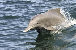У берегов ОАЭ обнаружена крупнейшая в мире популяция индийского горбатого дельфина
