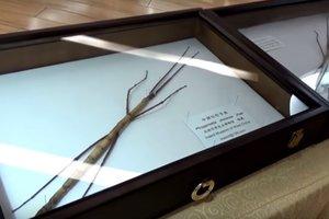 Видео: энтомологи показали самое длинное в мире насекомое