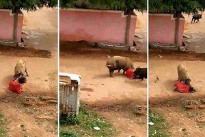 Разъяренные свиньи набросились на женщину прямо посреди улицы (видео)