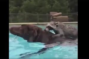 Сеть насмешил енот, который плавает верхом на собаке: опубликовано видео