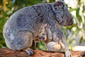 В австралийском зоопарке родилась редкая белая коала