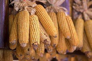 Польза и вред кукурузы: кому нельзя есть это растение