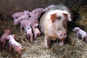 Под Киевом зафиксировали вспышку опасной болезни у свиней