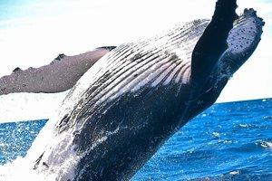 Видео с плавающими в океане гигантскими китами впечатлило сеть