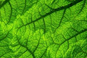 Найден растительный экстракт, эффективно подавляющий аппетит