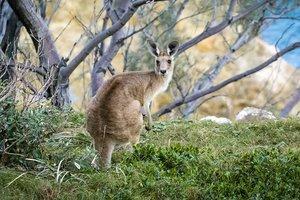 Мужчине грозит тюремный срок за жестокое убийство кенгуру
