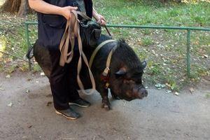 По Киеву гуляет женщина с огромной свиньей на поводке