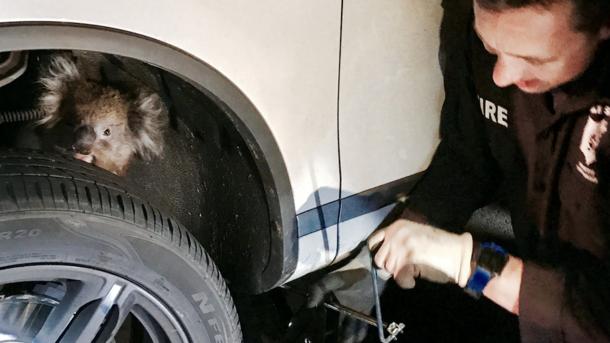 ВАвстралии коала одолела 16км наоси колеса автомобиля