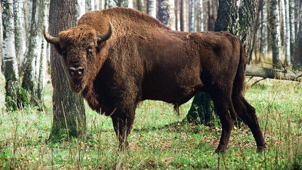 Ошибся адресом: милиция Германии застелила появившегося впервый раз за250 лет дикого зубра