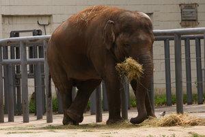 Как слон в Киевском зоопарке принимает грязевые ванны