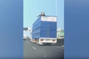 Видеошок: дорожный знак чудом не обезглавил корову, которая высунула голову из грузовика