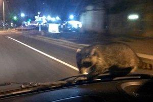 В США спешащий на вызов полицейский обнаружил на лобовом стекле енота