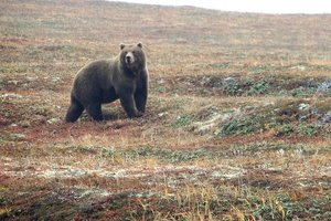 В России дикий медведь разорвал 6-летнего ребенка