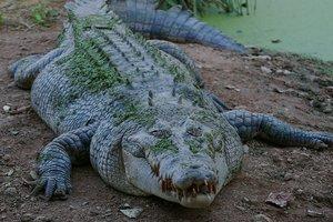 Многодетная мать напала на четырехметрового аллигатора