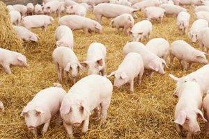В Харьковской области - чума у свиней
