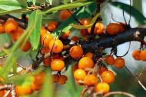 Осенняя ягода: пять полезных свойств облепихи