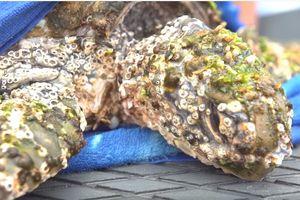 Видеошок: из моря выловили черепаху-монстра, обросшую толстым слоем ракушек