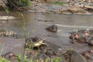 Жестокую схватку стада бегемотов с крокодилом сняли на видео