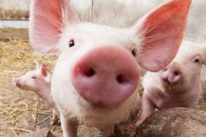 Африканская чума добралась до одесских свиней