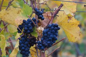 Tips to gardener: how to prepare for the winter grapes