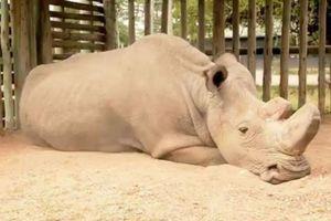 Последний в мире самец северного белого носорога может умереть, не оставив потомства