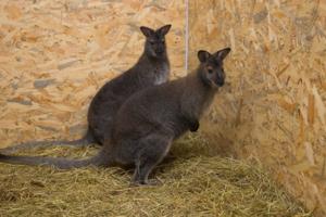 В Харькове появилась парочка кенгуру