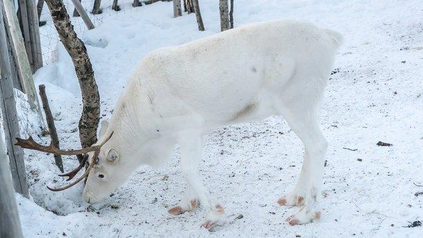 В Норвегии поезда сбили более 100 северных оленей