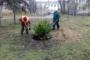 Pine trees in Kiev is treated with a