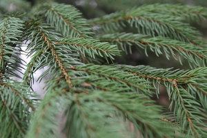 В Украине начали продавать елки к Новому году: почем купить и как выбрать хорошую