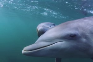 Dolphins have learned to obtain the drug from fish