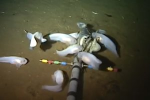 Scientists discovered in the Mariana trench the deep-sea fish