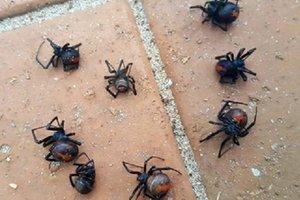 """В Австралии прошел """"дождь"""" из смертельно опасных пауков"""