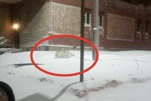 По улицам Норильска бегает дикий волк: появилась информация о пострадавших