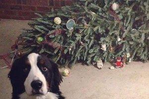 """Как коты и собаки """"попадаются"""" на рождественских преступлениях"""