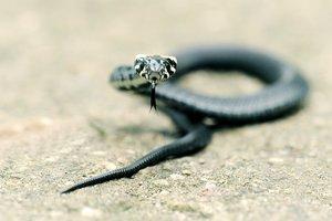 Австралийка нашла в тапочках ядовитую змею