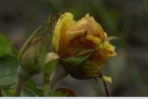 В Сумах расцвели предрождественские розы