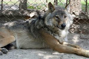 Под Черниговом волчица напала на людей