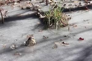 В США аллигаторы вмерзли в лед из-за сильного холода