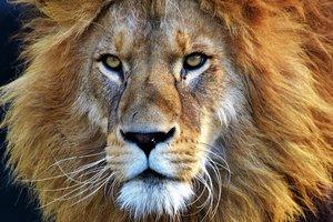 Буйвол обхитрил стаю голодных львов и спасся - видео
